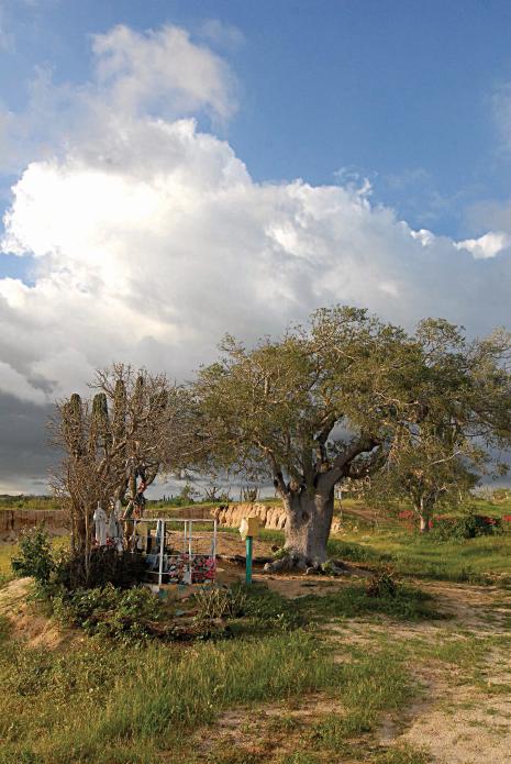 La Ahorcadita tree, Todos Santos, Baja, Mexico