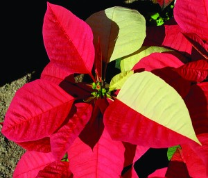Pink and white split color poinsettia