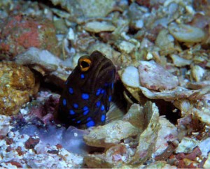 Blue spotted jawfish, Sea of Cortez, La Paz, Baja, Mexico