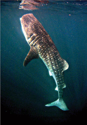 Whale Shark in the Sea of Cortez, La Paz, Baja, Mexico