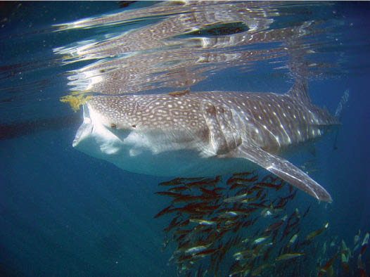 Whale shark feeding in the Sea of Cortes, La Paz, Baja, Mexico