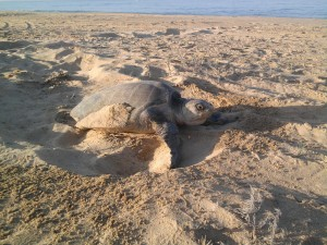 Olive Ridley Sea Turtle nesting, photo by Stephanie Rousso, Baja, Mexico