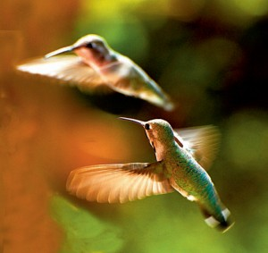 Hummingbirds, photo by Kaia Thomson, Baja, Mexico