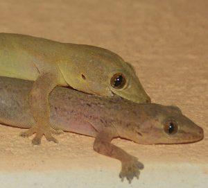 House Geckos by Kaia Thomson, Todos Santos, Baja, Mexico